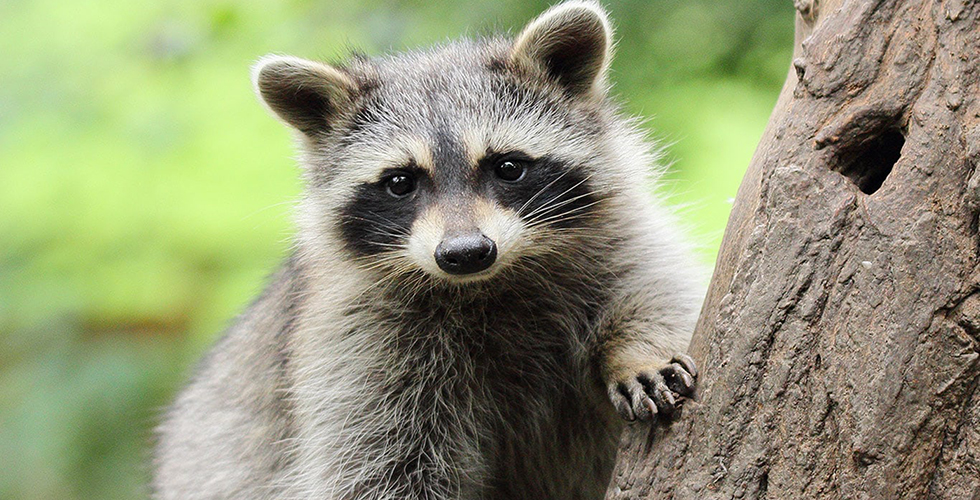 Protecting Your Property From Raccoon Damage